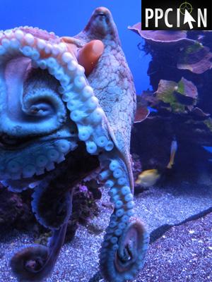 Maui Octopus