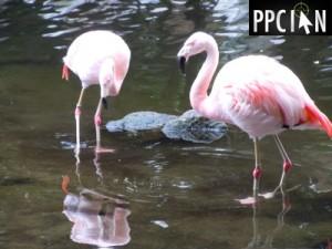 Westin Flamingos