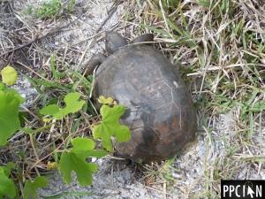 Amelia Island Turtle