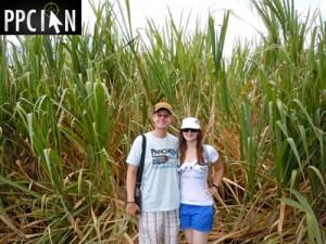 Sugar Cane Maui